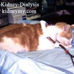 غسيل الكلي للقطط ,cat Kidney Dialysis