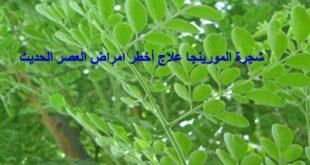 شجرة المورينجا ,نبات مورينجا ,عشبة مورينغا